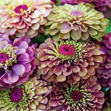 Zinnia-elegans-Scabiosa-Mix-Color-Small-Flower-Zinnia-about-100-pcs-Seeds-bonsai-pot-DIY-home_grande_c973bdb1-473e-4495-a9c7-5f5abfb5c1eb_x700